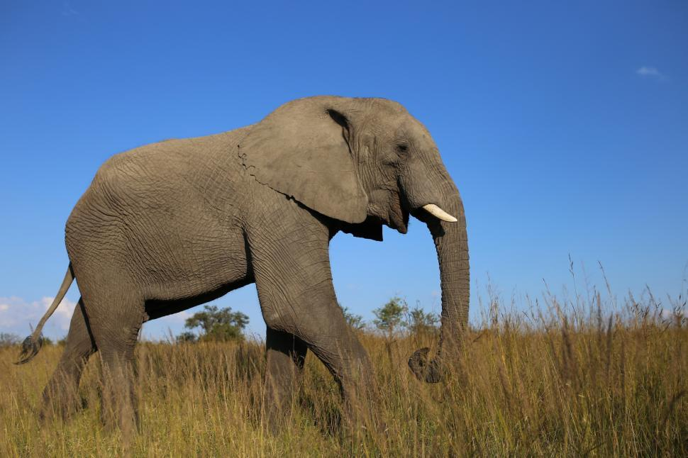 Download Free Stock HD Photo of African Bush Elephant Online