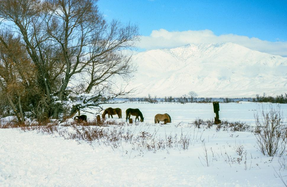 Free image of Thick snow spread over the meadow as horses grazing in a snow covered field