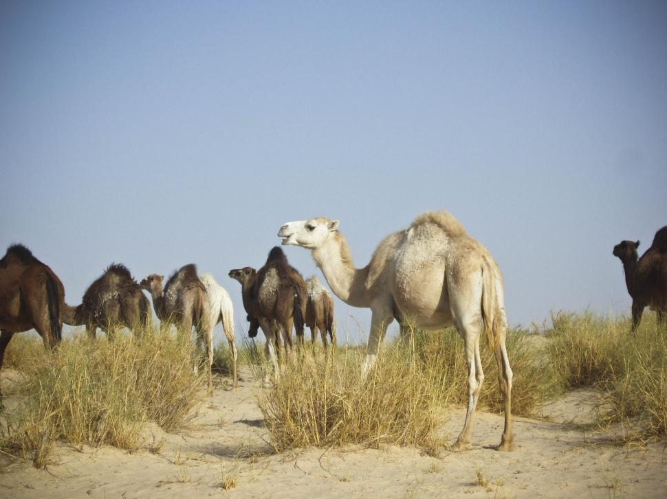 Free image of Camels in the desert