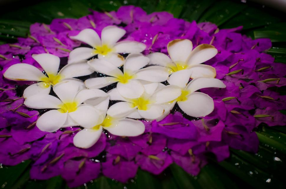 Download Free Stock HD Photo of White Plumeria in purple  Online