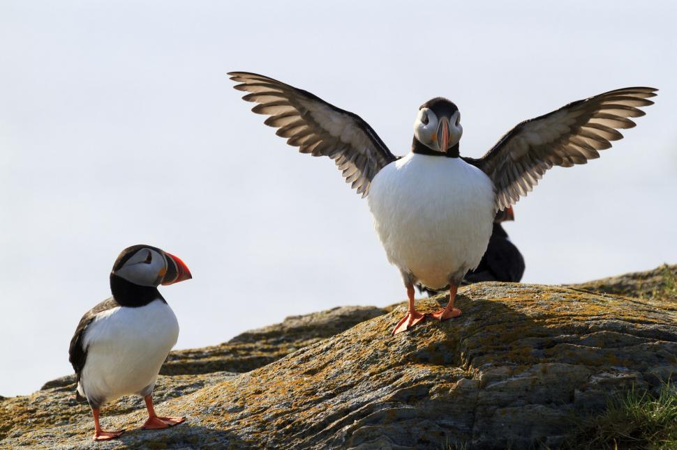 Download Free Stock HD Photo of Puffins in sunlight Online