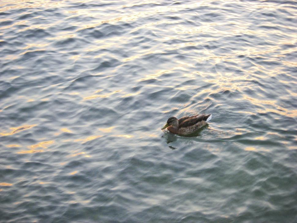 Download Free Stock HD Photo of Duck on lake Online