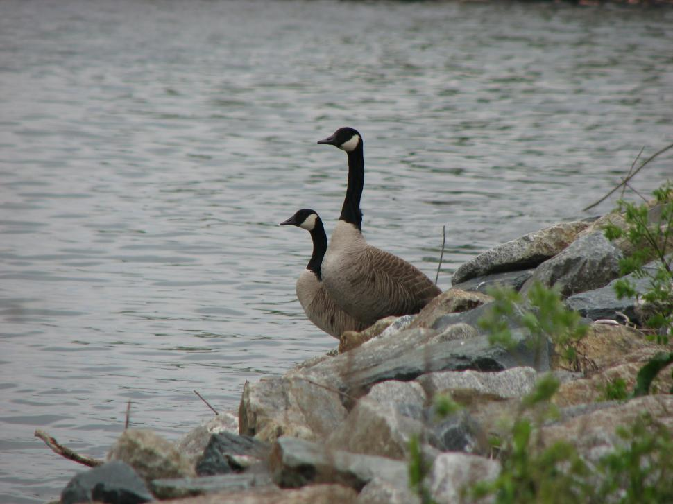 Download Free Stock HD Photo of Canada Geese on the Susquehanna River Online