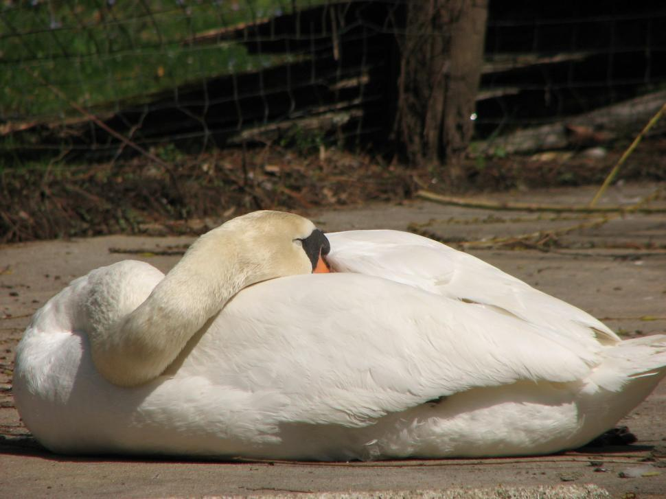 The Sleeping Swans >> Get Free Stock Photos Of Sleeping Swan Online Download Latest Free