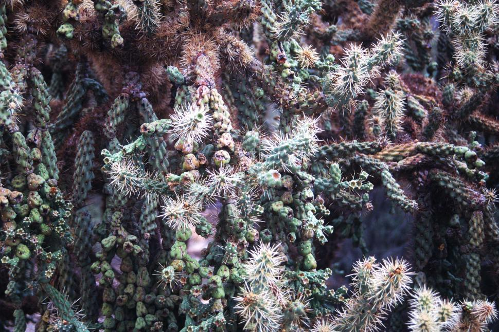 Download Free Stock HD Photo of Cholla cactus Online