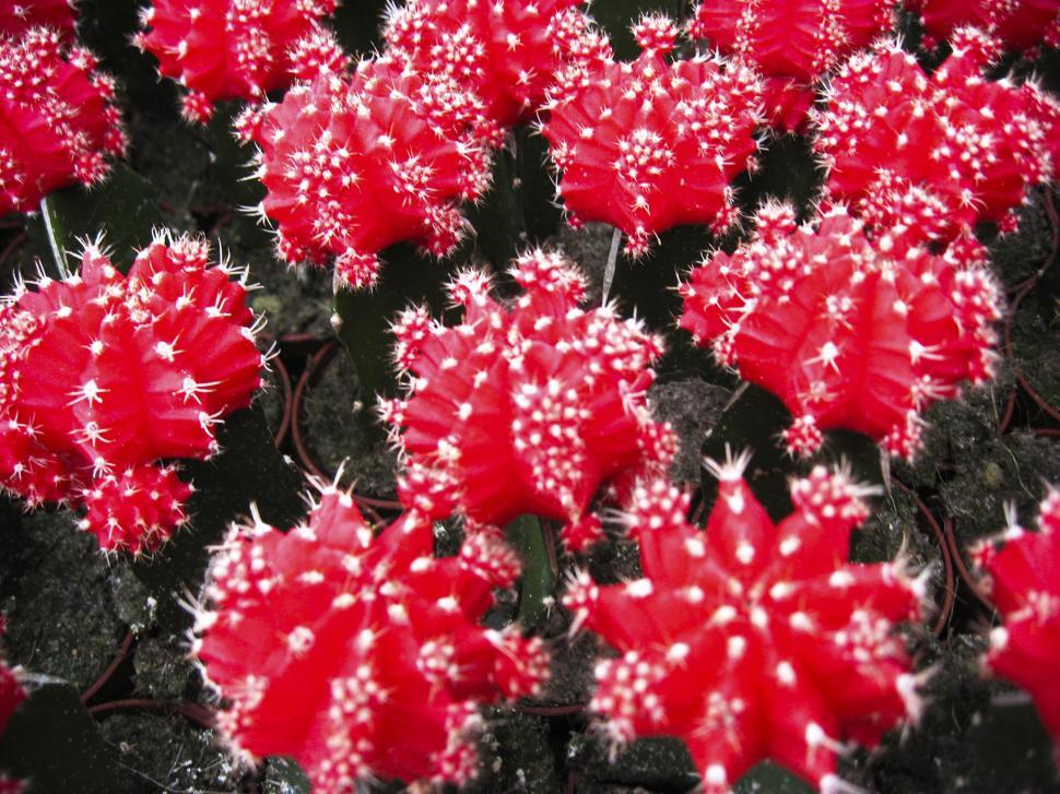 Download Free Stock HD Photo of Red cactus Online