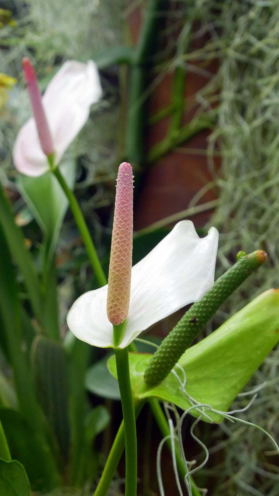 Download Free Stock HD Photo of Peace Lilies Online