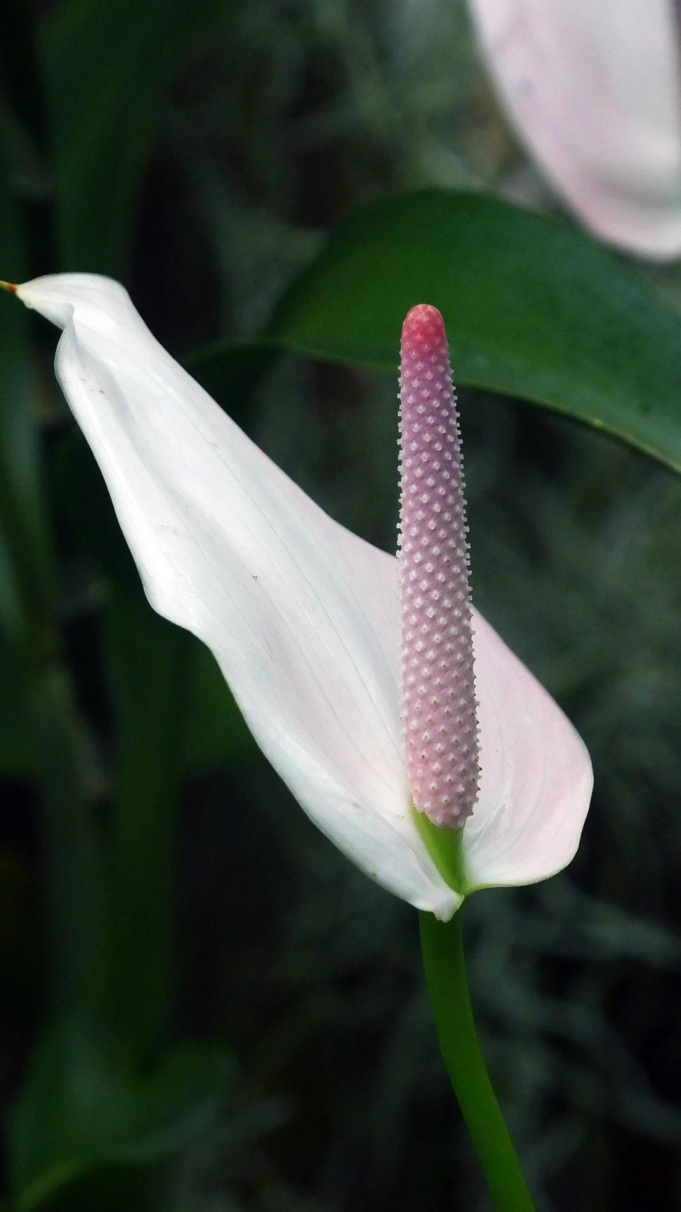 Get free stock photos of one peace lily online download latest download free stock hd photo of one peace lily online izmirmasajfo