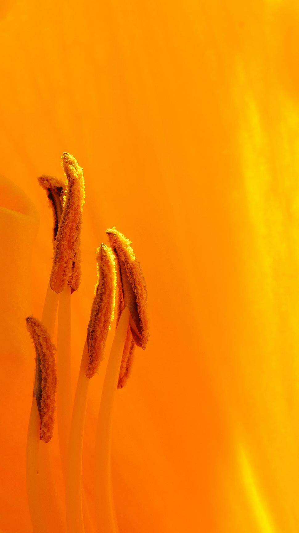 Get Free Stock Photos Of Orange Day Lily Flower Parts Macro Online
