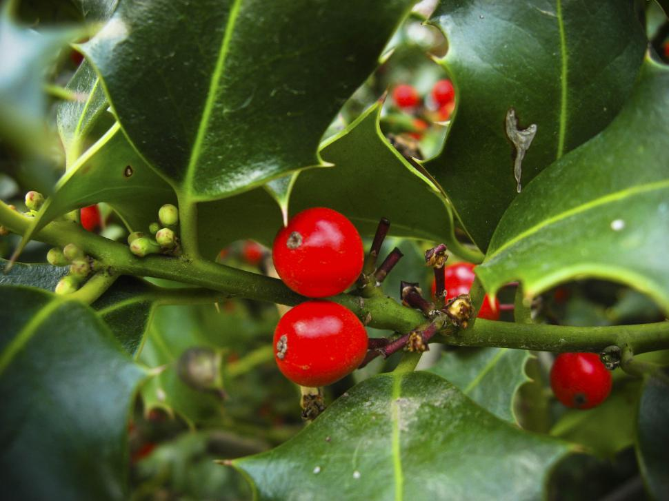 Download Free Stock HD Photo of Holly berries Online