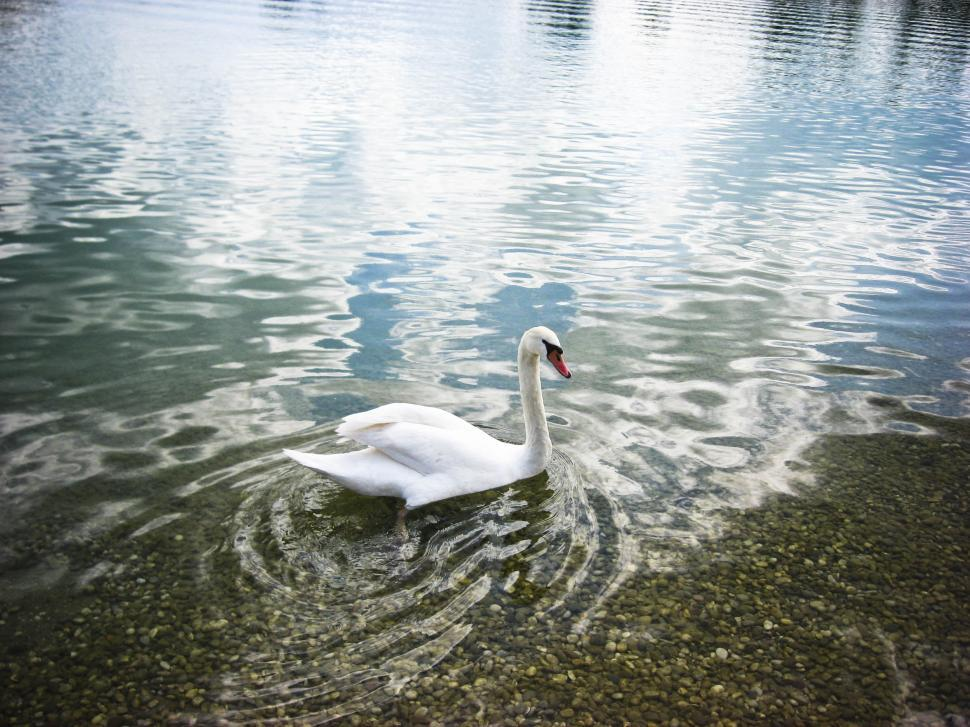 Download Free Stock HD Photo of Single swan on the water Online