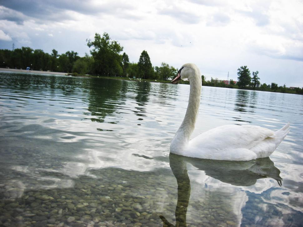 Download Free Stock HD Photo of Lake with swan Online