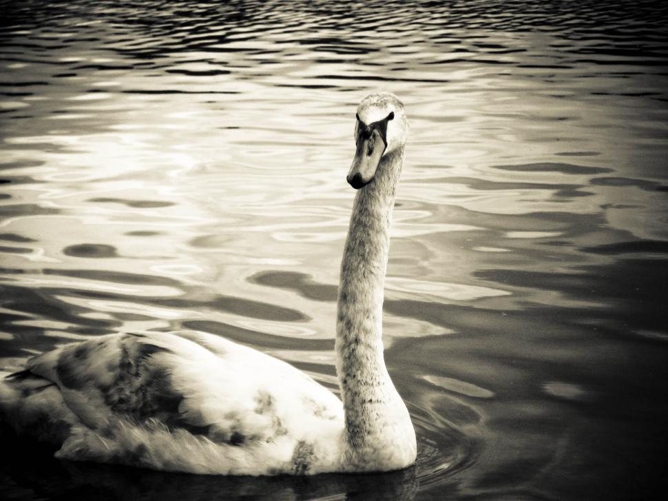 Download Free Stock HD Photo of Single swan Online