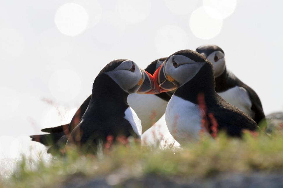 Download Free Stock HD Photo of Puffins on sunny day Online