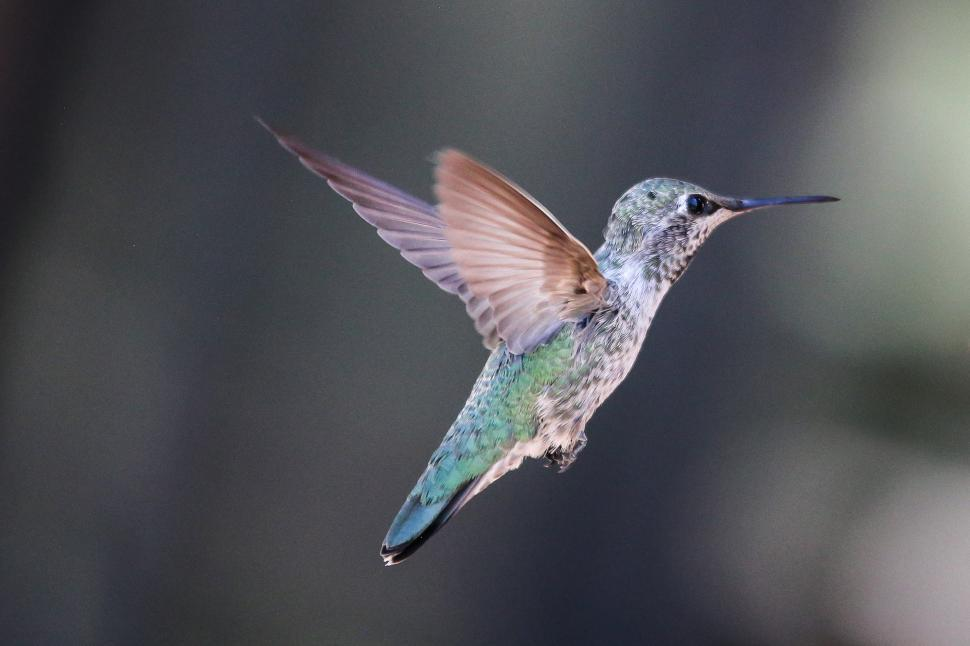Download Free Stock HD Photo of Hummingbird hovering in flight Online