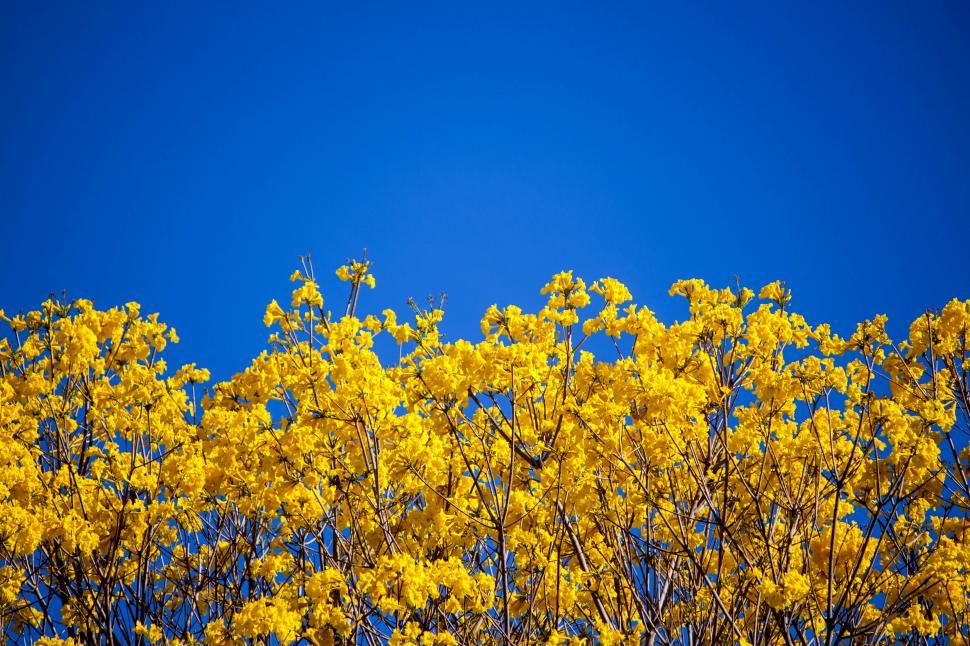 Download Free Stock HD Photo of Yellow Ip� Tree Online