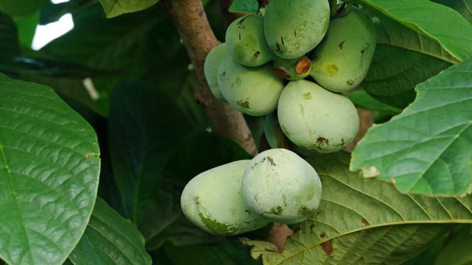 Download Free Stock HD Photo of Pawpaw - Prairie Banana Online