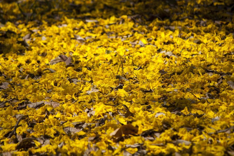 Download Free Stock HD Photo of Fallen Yellow Flowers Covering Ground Online