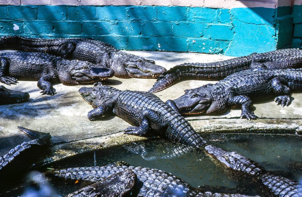 Download Free Stock HD Photo of Alligator Farm Online