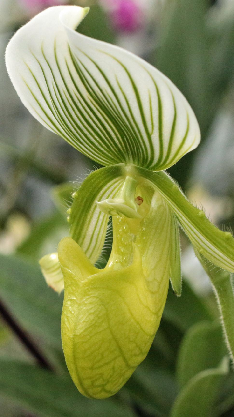 Get Free Stock Photos Of Bloom Of Green Lady Slipper Orchid Online