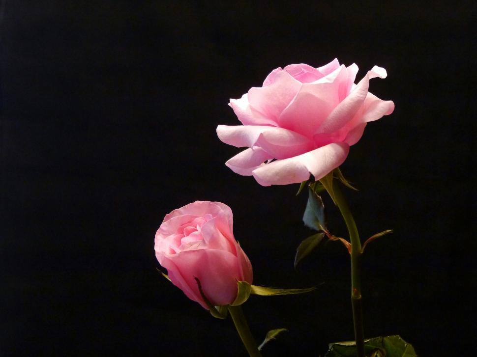 Download Free Stock HD Photo of Two Pink Roses Online