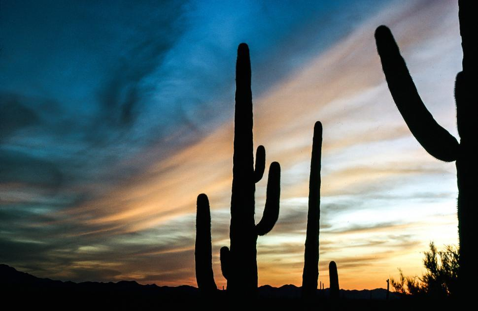 Free image of View of Saguaro Cactus during sunset