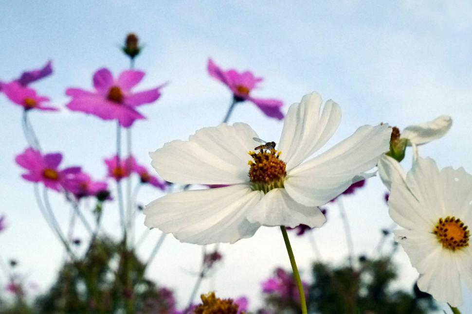Get Free Stock Photos Of White And Pink Cosmos Flowers Online