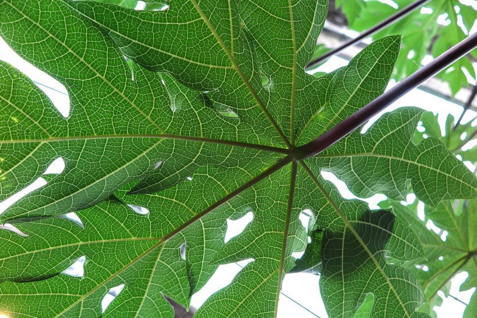 Download Free Stock HD Photo of Papaya leaf from below Online