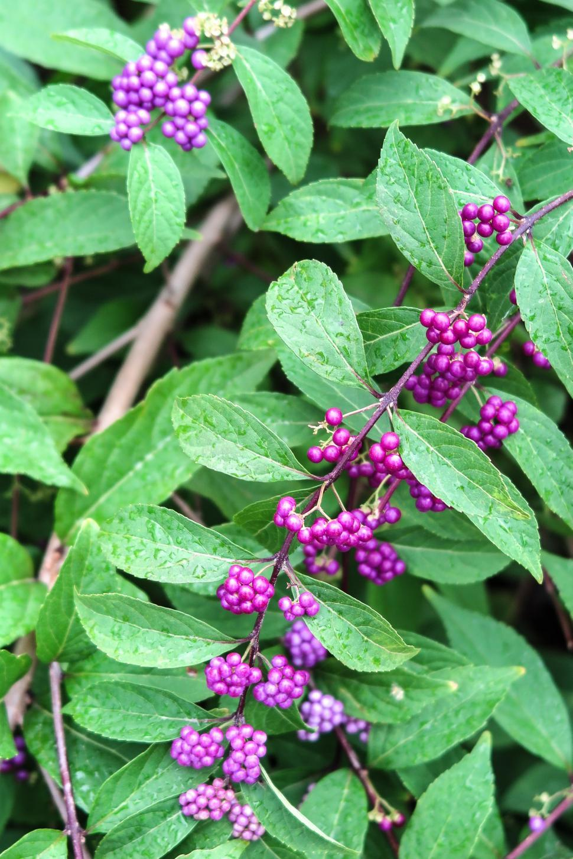 Download Free Stock HD Photo of Purple Berries Online