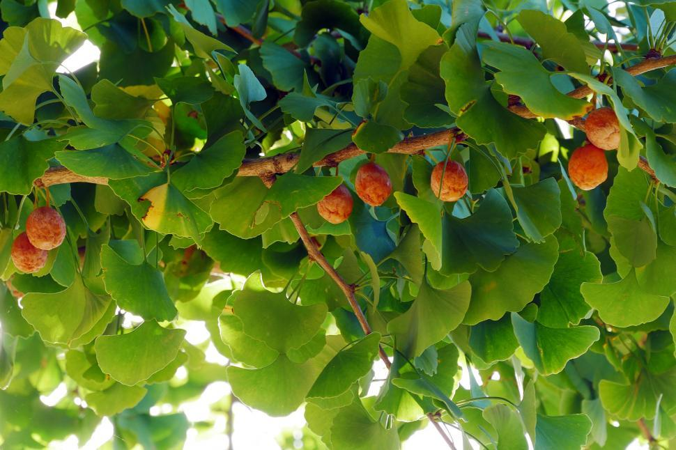 Download Free Stock HD Photo of Ginkgo Tree Leaves and Fruits Online