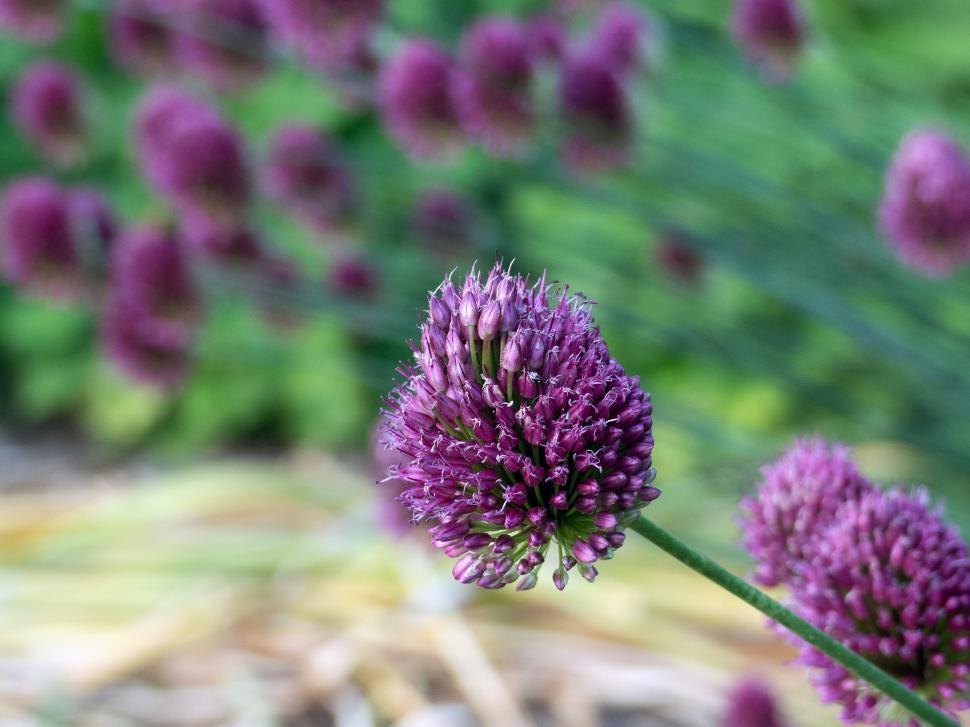 Download Free Stock HD Photo of Allium Flowers Cluster Online