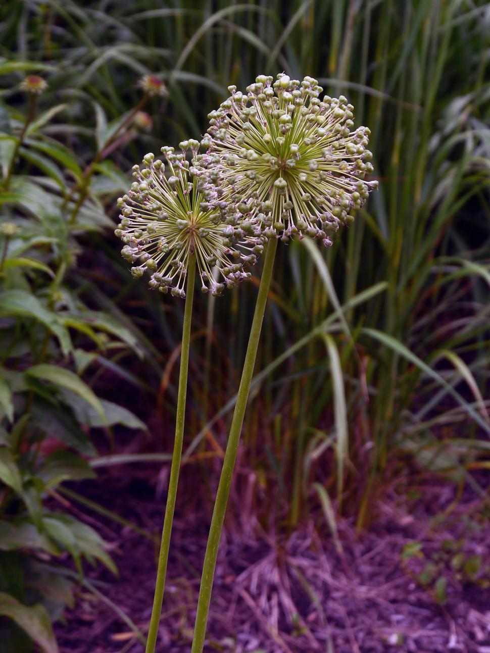 Download Free Stock HD Photo of Two Allium Flower Seed Spheres Online