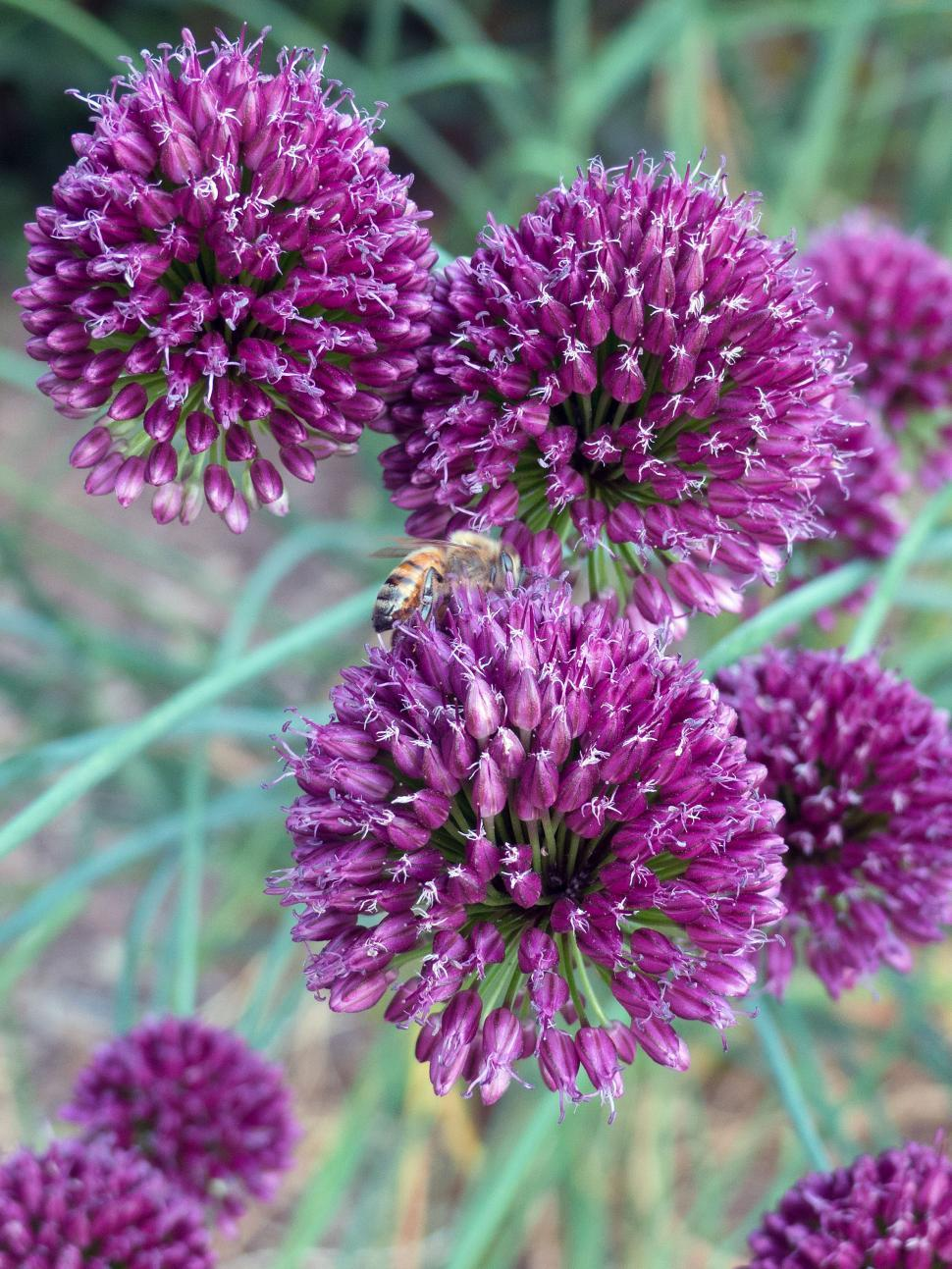 Download Free Stock HD Photo of Group of Purple Allium Flowers Online