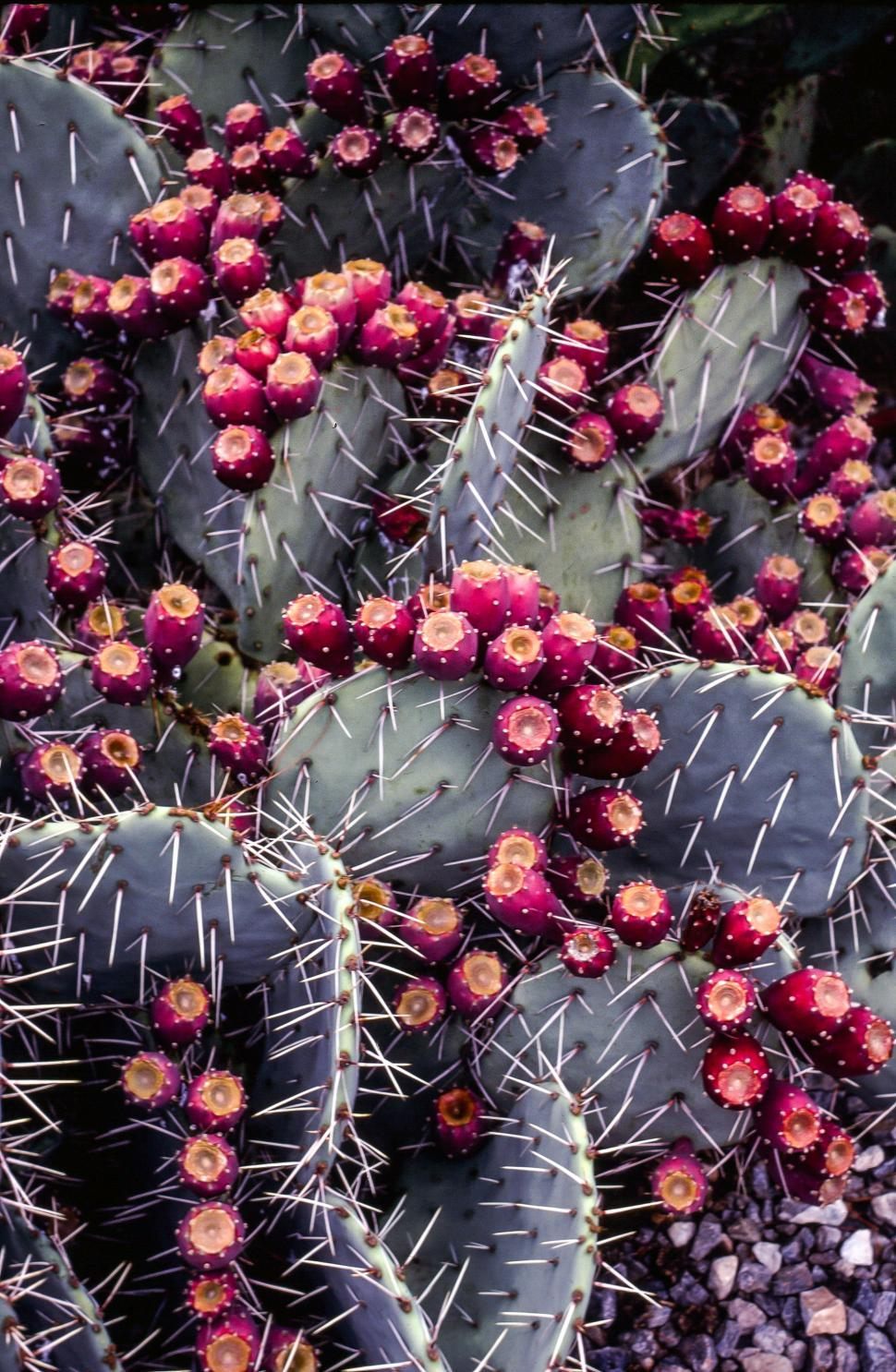 Download Free Stock HD Photo of Prickly pear fruits on cactus plant Online