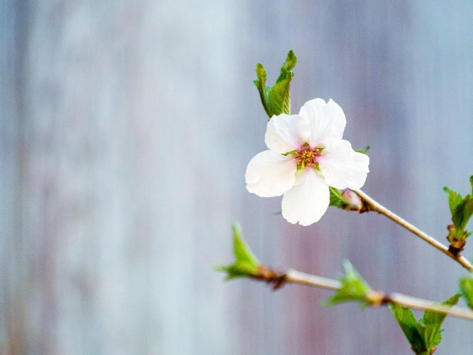 Download Free Stock HD Photo of Single Crab Apple Flower Online