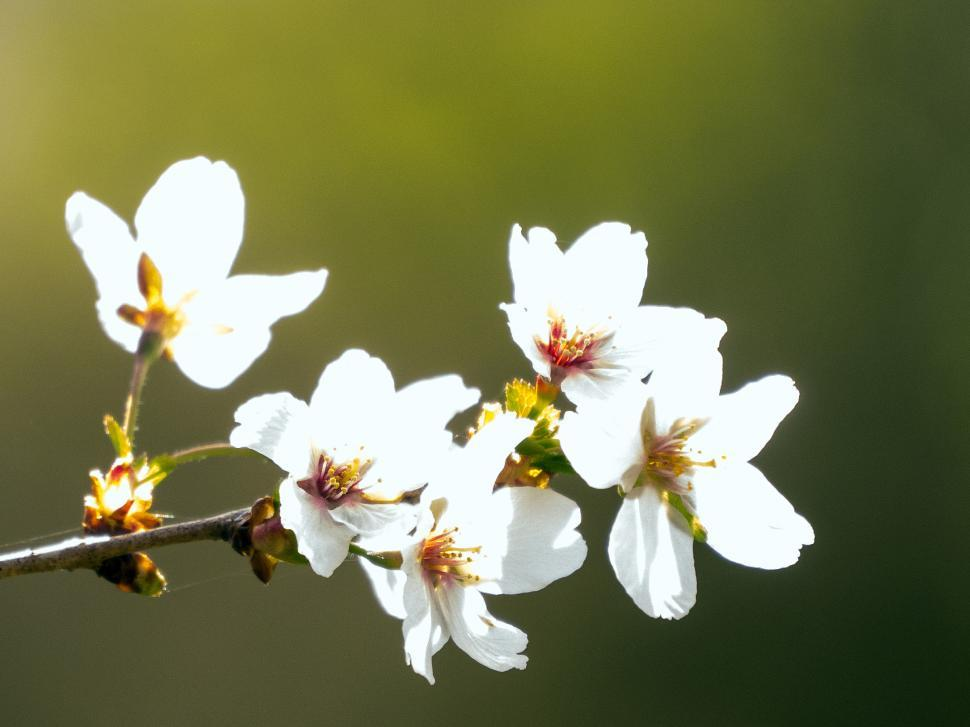 Get Free Stock Photos of Crab Apple Flowers in Sunlight