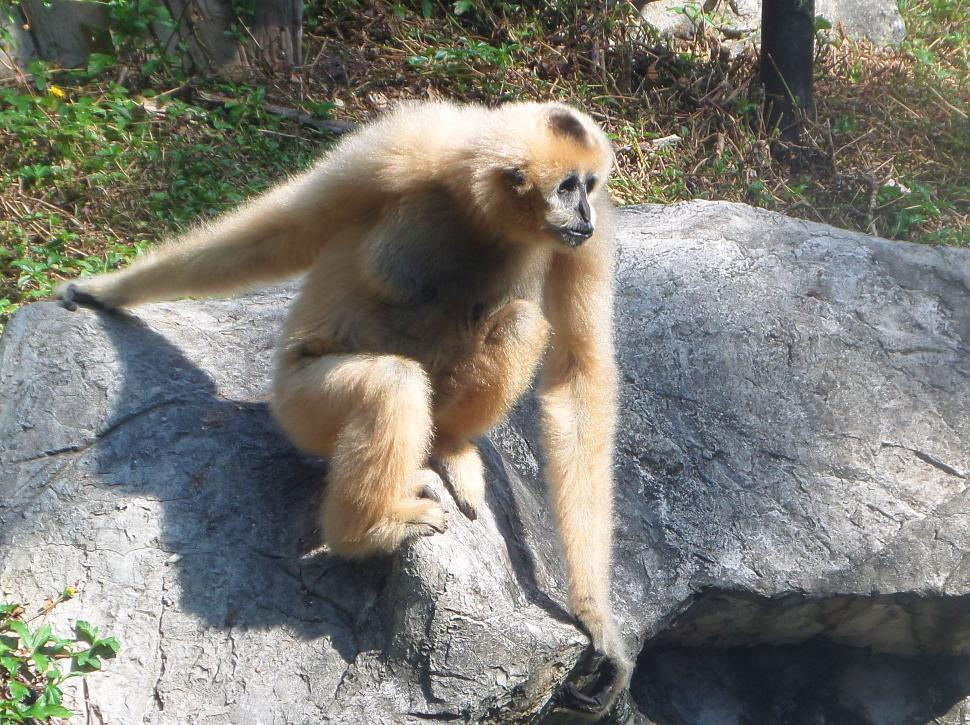Download Free Stock HD Photo of White handed gibbon - Hylobates Lar Online