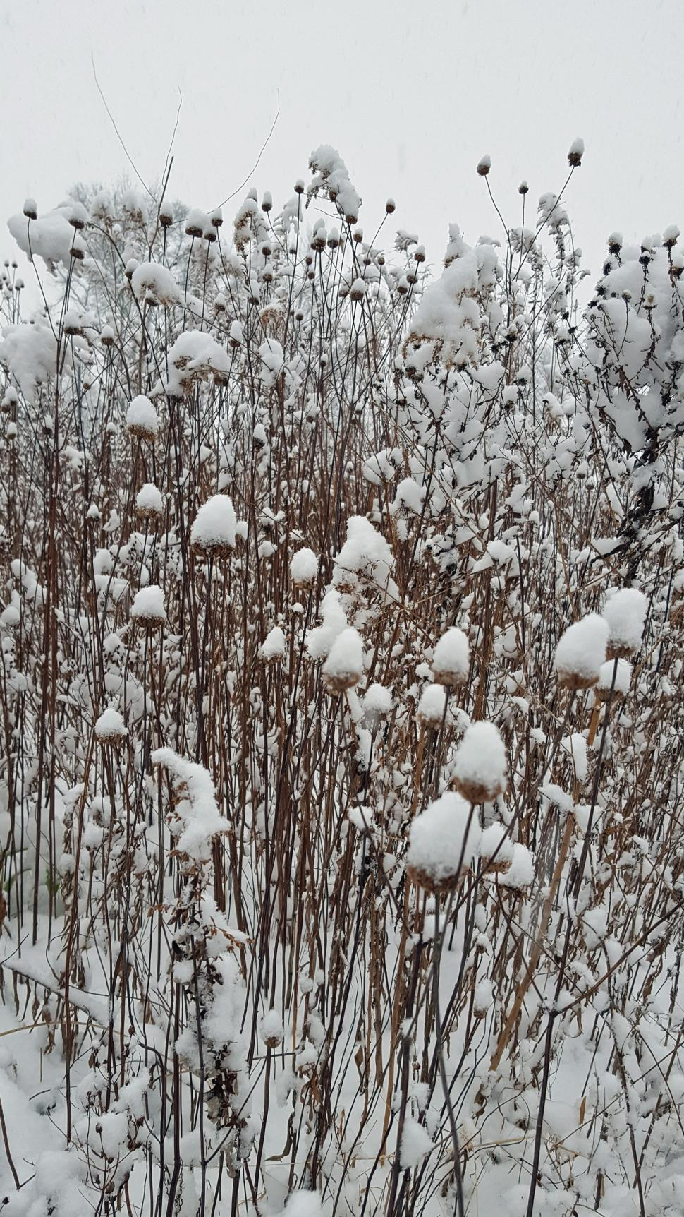 Download Free Stock HD Photo of Snow Covered Dried Cosmos Plants Online