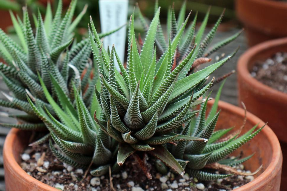 Download Free Stock HD Photo of Haworthia Attenuata Succulent in Pot Online