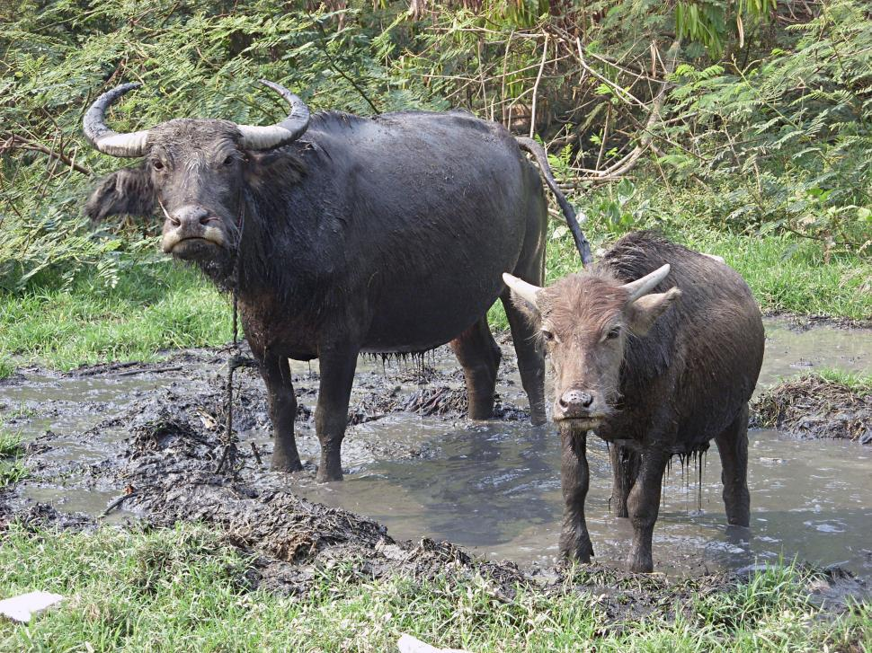 Download Free Stock HD Photo of Male water buffalo and calf Online