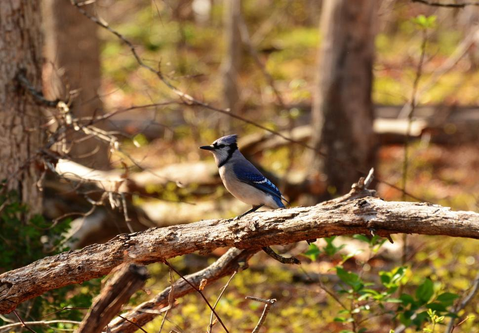 Download Free Stock HD Photo of Blue Jay,Bird  Online