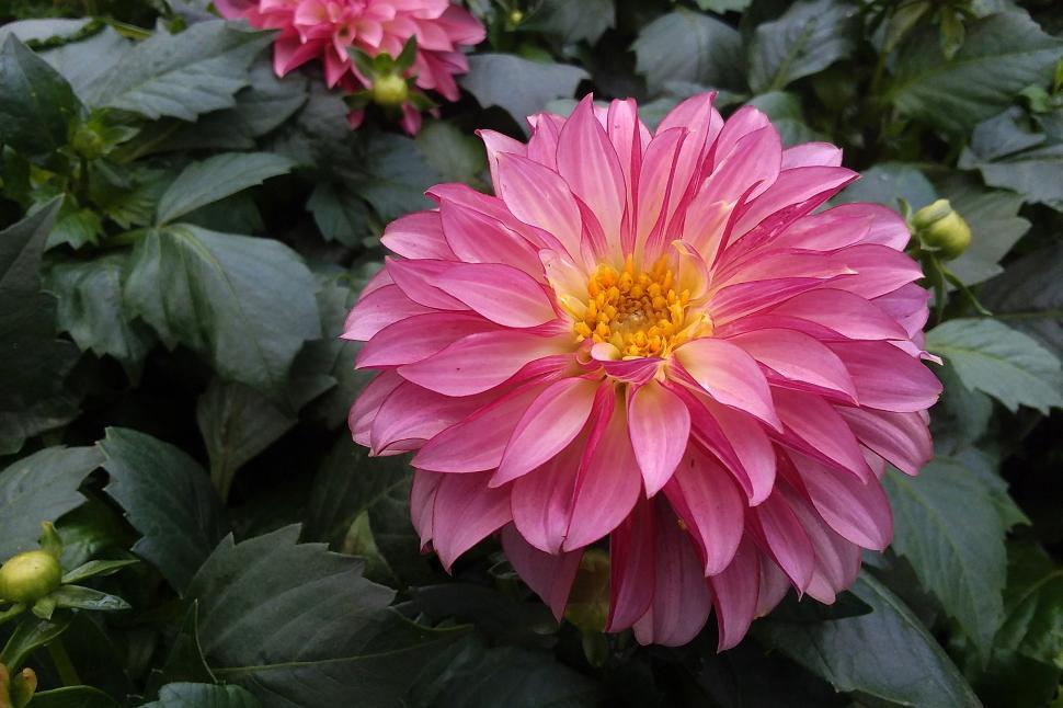 Download Free Stock HD Photo of Single Pink Dahlia Flower Online