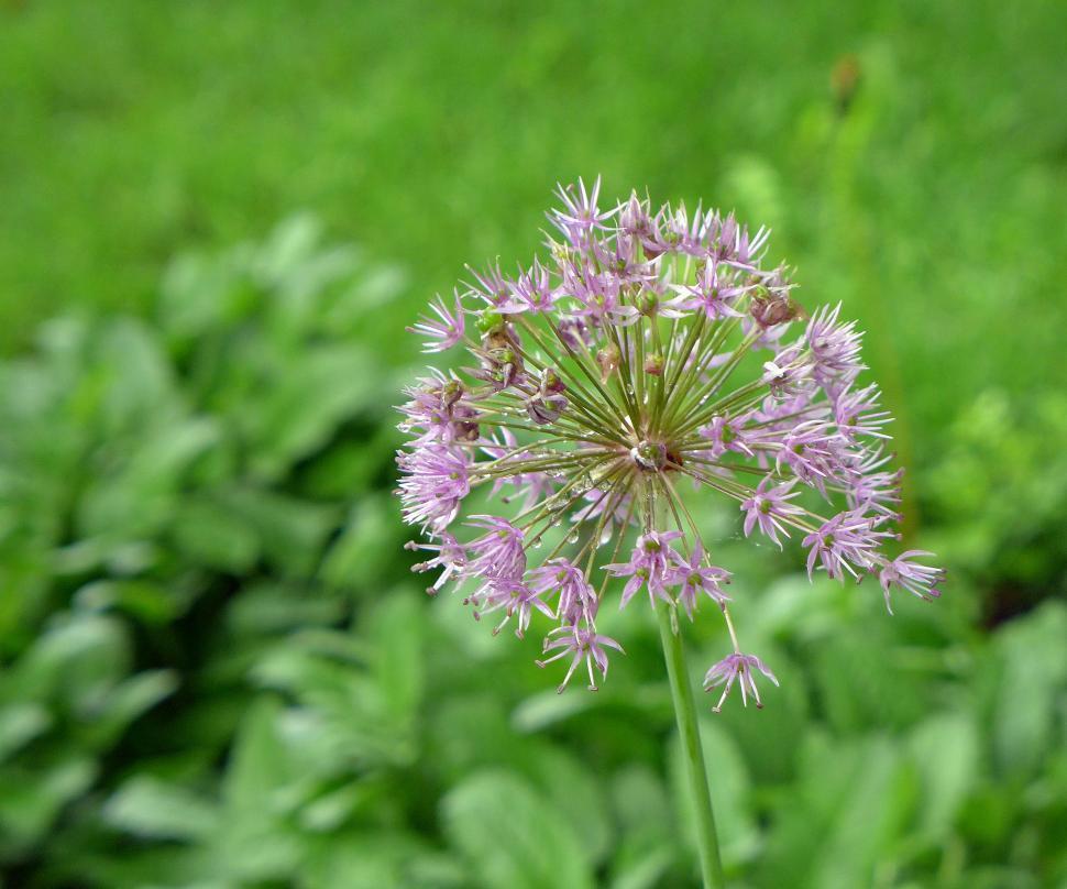 Download Free Stock HD Photo of Pink Allium Flower - Single Online