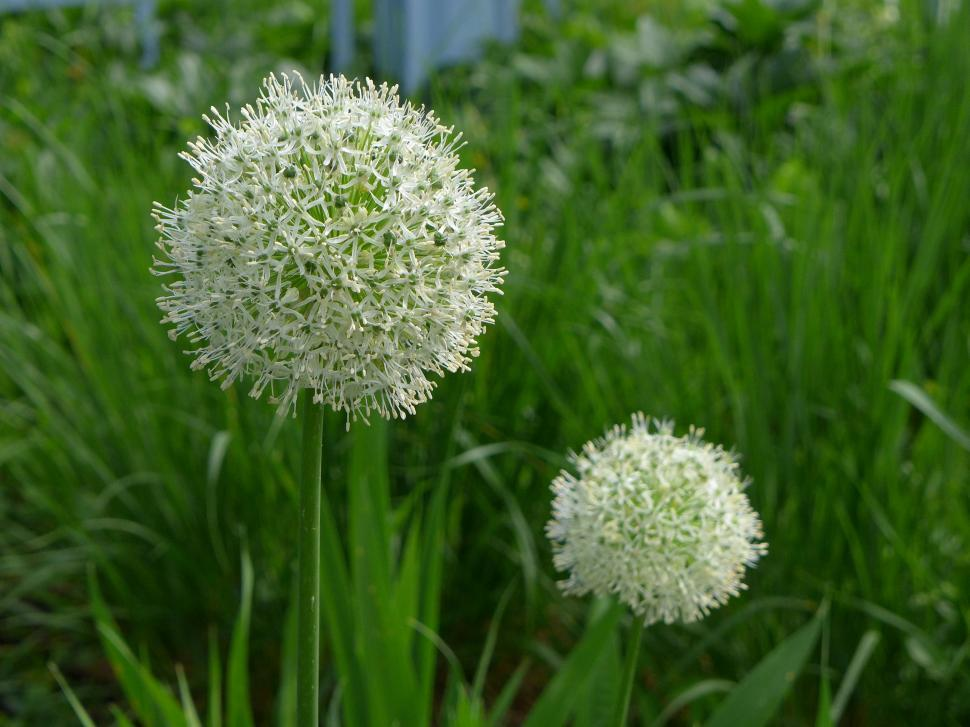 Download Free Stock HD Photo of White Allium Flowers Online