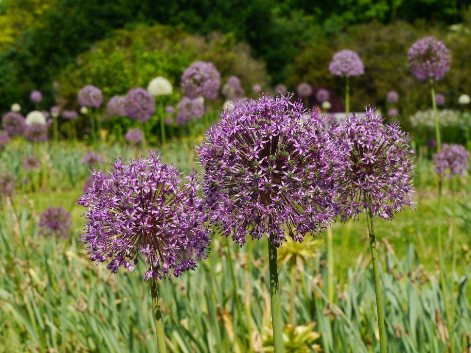 Download Free Stock HD Photo of Field with Purple Allium Flowers Online