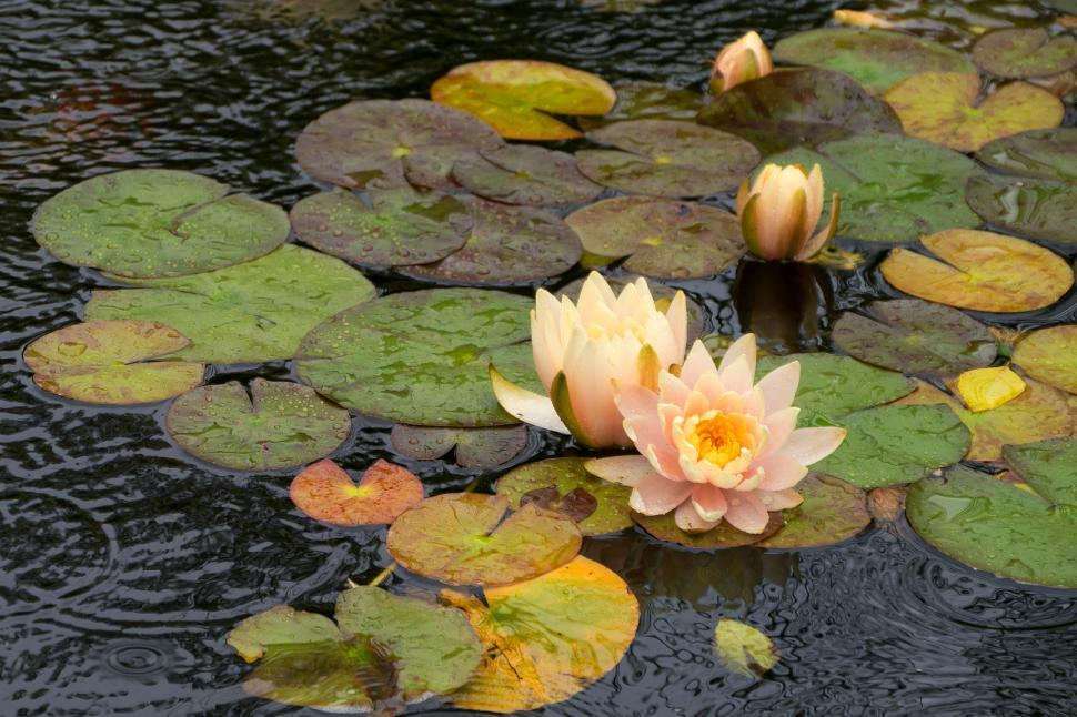 Download Free Stock HD Photo of Water Lily Flowers in the Rain Online