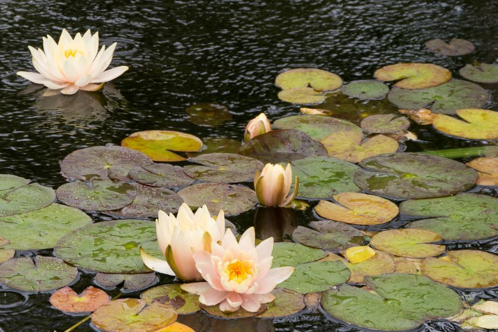 Download Free Stock HD Photo of Water Lily Flowers - Open Blooms on Pond Online
