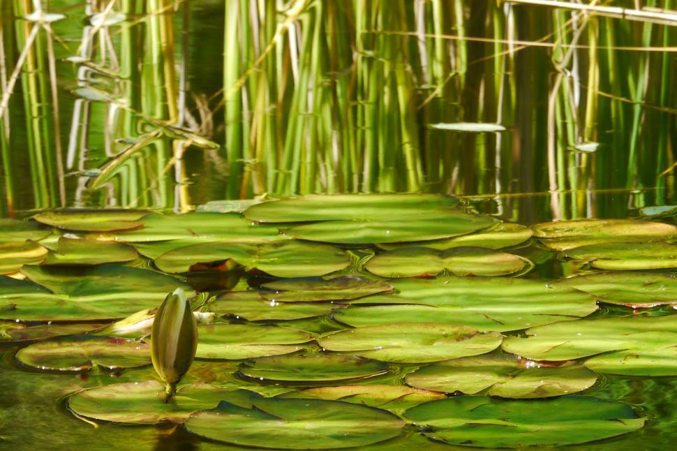 Download Free Stock HD Photo of Green Pond Scene with Lily Flower Bud Online