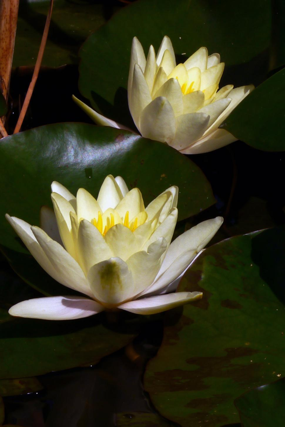 Get Free Stock Photos Of Two White Water Lily Flowers Online