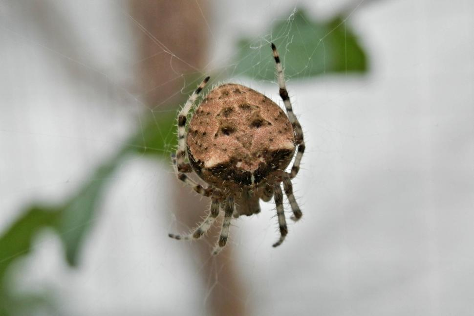 Download Free Stock HD Photo of Cat face spider - Araneus gemmoides Online